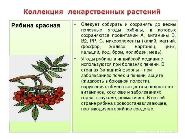 Красная рябина, полезные свойства и противопоказания