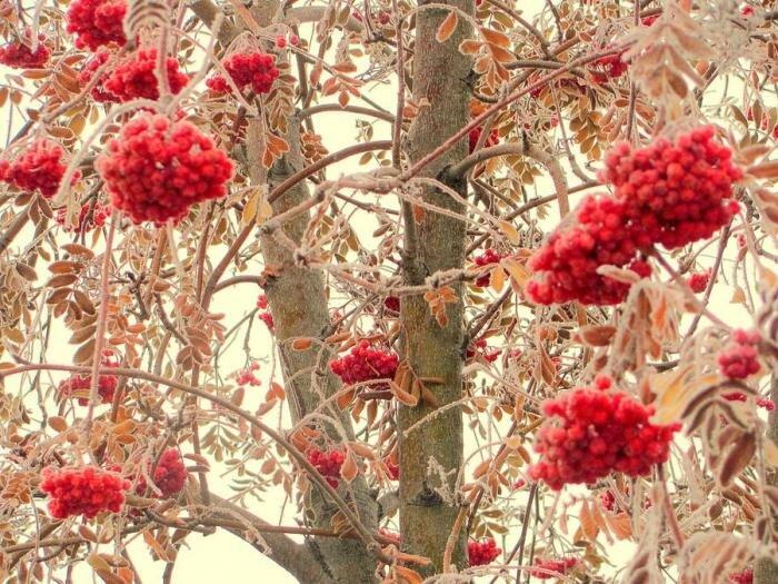 Рябина красная: полезные свойства и противопоказания растения