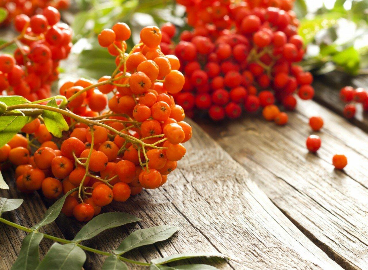 Красная рябина лечебные свойства растения для здоровья