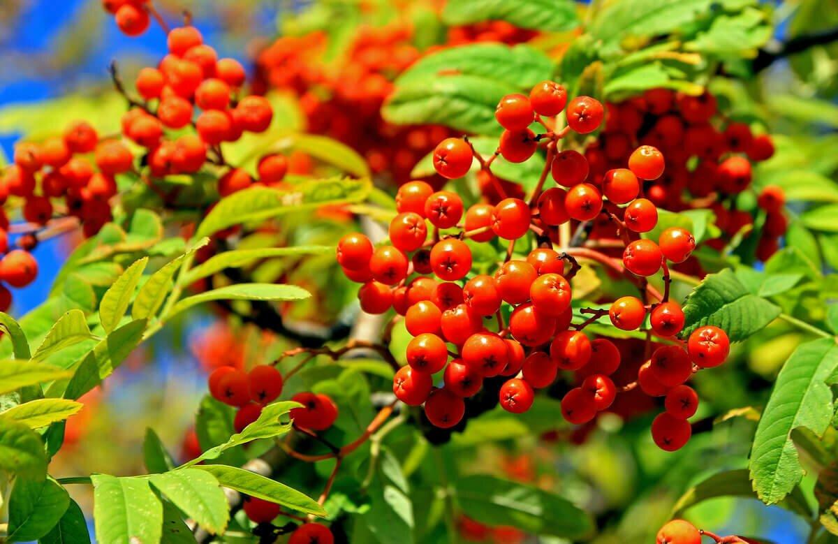 Рябина красная на зиму, полезные свойства, противопоказания, рецепты