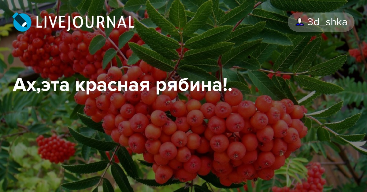 Рябина красная: полезные свойства для организма человека и возможные противопоказания, особенности употребления