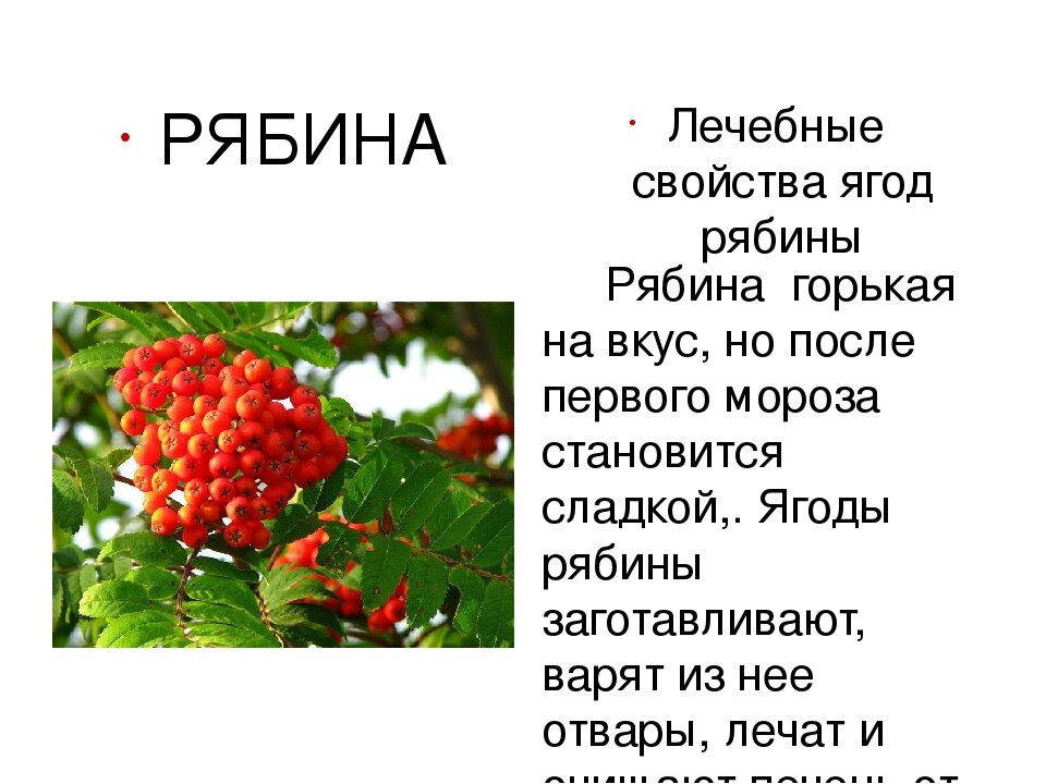 Лечебные свойства и противопоказания плодов красной рябины, польза и вред